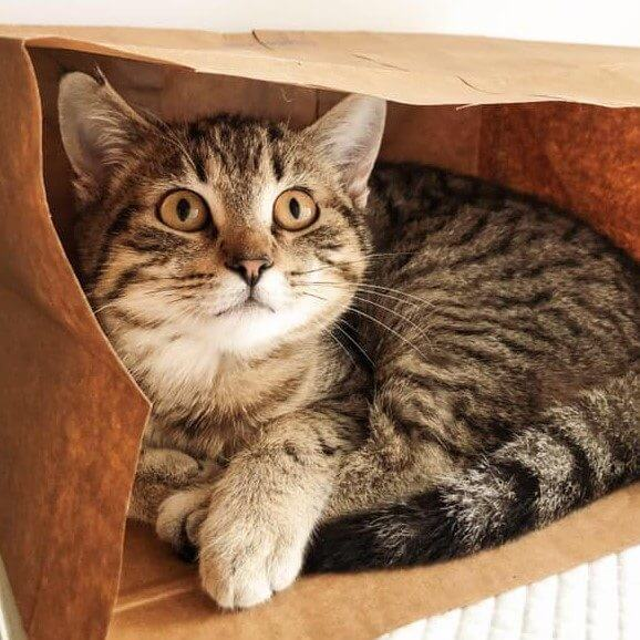 A kitten laying in a brown paper bag
